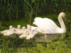 Swan_with_nine_cygnets_2